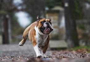 crazy english bulldog puppy running