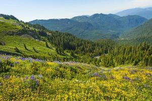 Alpine Wildflowers photo