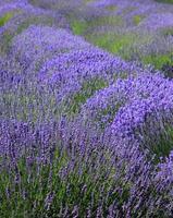 Purple lavender photo
