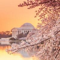 El monumento a Jefferson durante el festival de los cerezos en flor