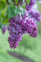 Purple Lilacs photo