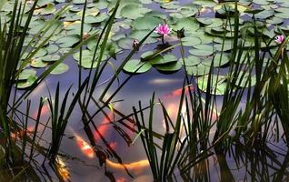 naranja carpa blanca rosa lirio de agua estanque chengdu sichuan china foto