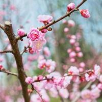 Plum blossoms photo