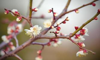hermosa flor de durazno a principios de la temporada de primavera foto