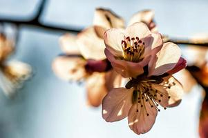 peach flowers photo