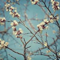 Apricot blossom flowers