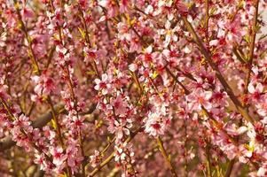 Blooming Peach plntaion photo