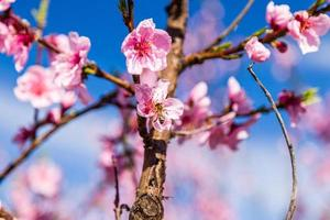 Bee on cultivated fields of peach trees treated with fungicides photo