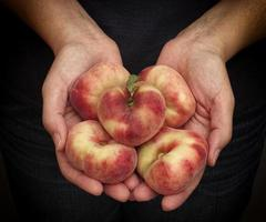 Woman holds fresh harvested flat peaches in her palms
