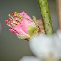 serie de flores de primavera, flor de durazno foto
