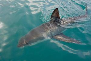 tiburón blanco foto