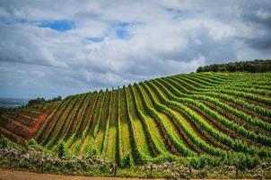 Vineyard in Cape Town on a cloudy day photo