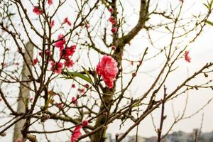 fleur de cerisier du vietnam, hanoi, vietnam