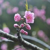 Pfirsichblüte im Regen