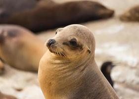 Sea lion at La Jolla Cove in America