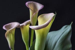 zantedeschia aethiopica, lírio de calla