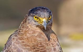 Close up portrait of a captive golden eagle aquila chrysaetos