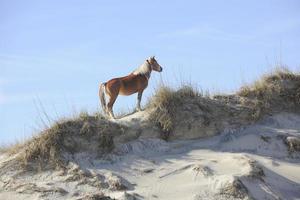 Wild Mustang on Sandunes photo
