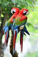 Two Green wings macaw perching together