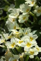 Primroses yellow wild in the meadow spring Lago Maggiore