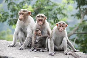 Family of Rhesus Macaques sitting near a highway in India