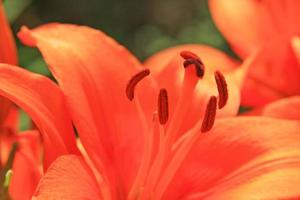 Red lily photo