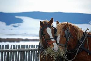 BEAUTIFUL DRAFT HORSES EATING SOME HAY. photo