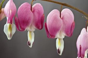 fleurs de coeur saignant