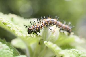 larvas de acraea issoria hubner