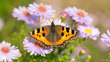 Small tortoiseshell (Aglais urticae) on blossoms in the evening mood