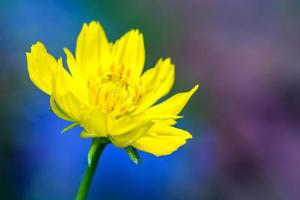 Yellow cosmos flower on colorful background photo