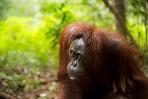 orangotango feminino.