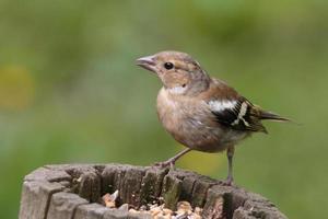 Female Chaffinch photo