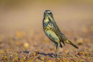 Female Bluethroat (Luscinia svecica )