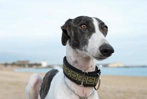 Female spanish greyhound dog