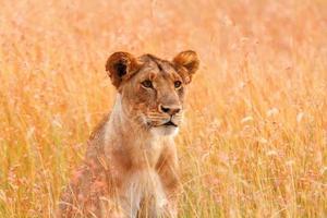 hembra león mirando a su alrededor
