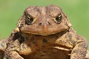 Female American Toad (Bufo americanus) photo