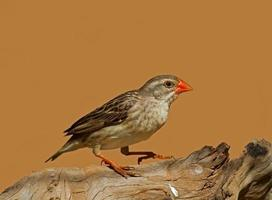 Non-breeding Female Red-Billed Quelea perched on log