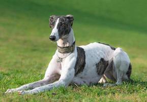 Portrait of a female spanish greyhound dog