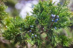 Juniper branch with female cones