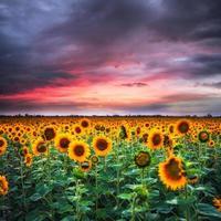Sunflower on sunset