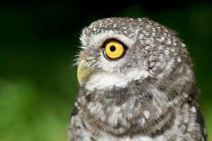 spotted owlet or athene brama bird