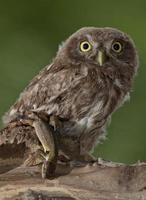 little owl (Athene noctua) photo
