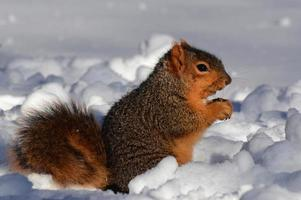 Squirrel in snow eating facing right