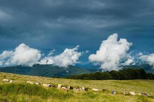 Sheep pasture in Carpathian mountains