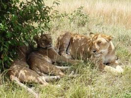Lions in  golden grass of the Masai Mara Kenya Africa