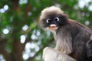 mono hoja oscura
