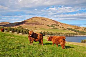 Highland angus cow photo
