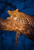 leopardo descansando foto