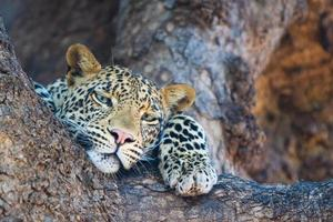 leopardo relajado foto